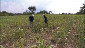 Thaipariskunta riisinviljelyssä