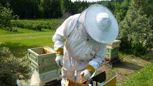 Mehiläistarhaaja harjaa mehiläisiä hunajakakusta.
