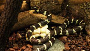 Käärmeenmunia.