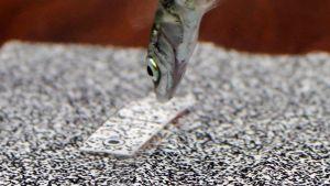 Kuvassa kolmipiikkikala on hyökkäämässä kohti keinotekoista mustavalkoista silmälaikkusaalista. Kuva on koetilanteesta.