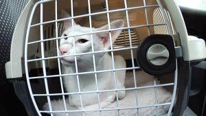 Kissa matkustaa kantokopassa.