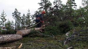 Inarissa metsurit joutuvat tulevaisuudessa lähinnä raivaus- ja metsänhoitotöihin.