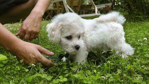 Koiranpentu nurmikolla.