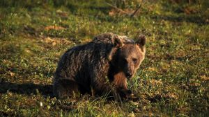 Vuosikas karhu istuu maassa.