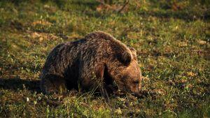 Karhu makaa puolittain maassa ja nuuskii maata.