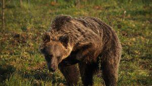 Karhu nostaa etukämmentään.
