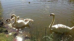 Kaksi aikuista joutsenta poikasineen ui rantavedessä.