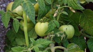 Raakoja tomaatteja kasvissa