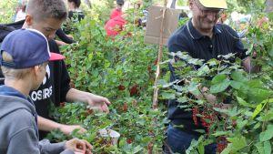 Anna Tapion -koulun oppilaat poimivat viinimarjoja.