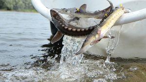 Kaloja kaadetaan jokeen ämpäristä.