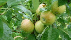 Vihreitä omenoita puussa