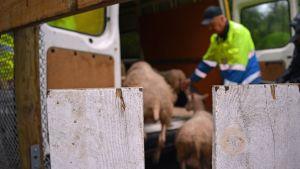 Lampaat lähdössä kesälaitumelta