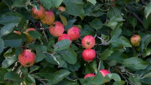 omena sato puu pirja