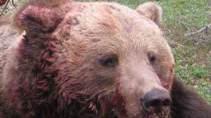 Kaadettu karhu