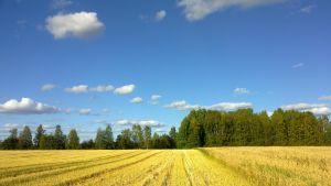 Sää on suosinut viljanpuintia Toholammilla 3.9.2013.