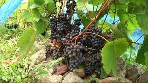 Viininviljelylle löytyy suotuisat olosuhteet myös Pohjanmaalla.
