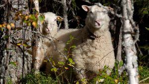 Puolangan kesäteatterista Askanmäeltä karannet lampaat kurkistelevat metsästä mahdollista kiinniottajaa.