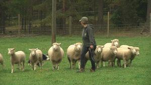 Paimenkoira Lissu tuo lampaat sinne, mihin lampuri Sirpa Tyrväinen haluaa.