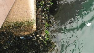 Telakalla kelluvan aaltovoimalan vesirajasta alkaa simpukoiden muodostama matto.