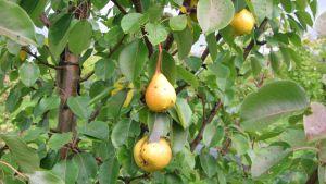 Päärynöitä päärynäpuussa.