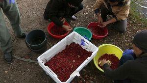 Thaimaalaisia marjanpoimijoita perkaamassa marjasaalista syyskuussa 2013.