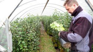 Keväällä vartettujen omenapuitten huoneessa alkaa olla jo aika kookkaita kasveja, kertoo Teppo Kaarniemi.
