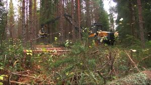 Metsätyökone karsii puita havumetsässä.