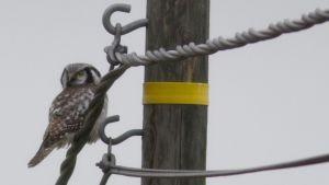 pöllö istuu sähkölangalla