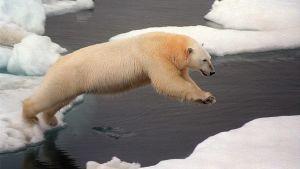 Jääkarhu hyppäämässä jäälautalta toiselle.
