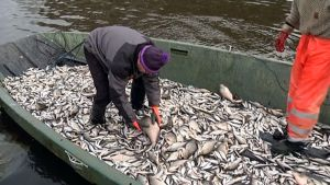 Kalasaalis hoitokalastus särki lahna