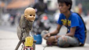 Kadunvarsinäytöstä varten puettu apina Jakartassa lokakuussa 2008.