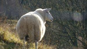Lammas, jonka villasta kudotaan villapaita NRK:n ohjelmassa.