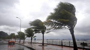Trooppiseksi myrskyksi laantunut Haiyan taivutteli rantabulevardin palmuja Ha Longissa Vietnamissa 11. marraskuuta 2013.