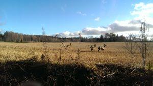 Neljä metsäkaurista pellolla.