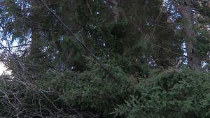 Sähkölinjalle kaatunut puu.