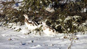 Riekot vaihtavat kesäasun talviasuun