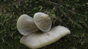 Lapista löytynyt uusi sienilaji kuuluu ruostevinokkaisiin.