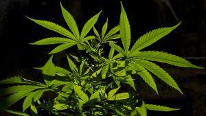 Kannabis Sativa -kasvi esillä Montevideossa 7. joulukuuta 2013.
