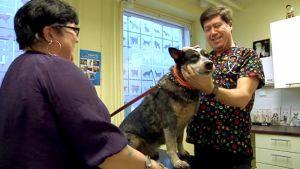 Eläinlääkäri Serban Ursachi Kanta-Hämeen Eläinklinikalta rauhoittaa koiraa