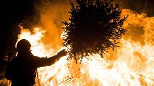 Mies heittää joulukuusen rovioon Amsterdamin Museumpleinilla vuotuisessa joulukuusten polttotapahtumassa.