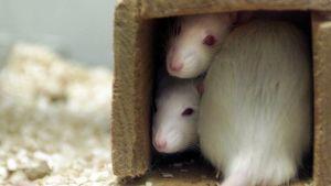 Valkoiset rotat katsovat kohti kuvaajaa.