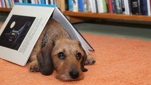 Lukukoira Sylvi makaa lattialla kirjan alla.