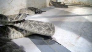 Kalkkarokäärmeitä.