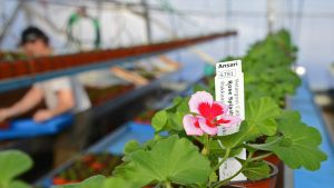 Petunia kukkii kasvihuoneella