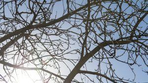 Aurinko lehdettömän puiden oksien läpi.