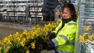 Kaupungin työntekijä asettaa narsisseja Turun teatterisillan kaiteen kukkapurkkeihin.