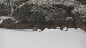 Kuutti sulaneen apukinoksen pesäpaikan luona Saimaalla