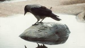Varis katsoo veteen heijastuvaa peilikuvaansa.
