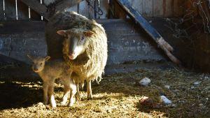 Karitsa ja lammas