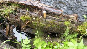 Nimeämätön uusi sammallaji löytyi Oulangan kansallispuistosta Kuusamosta